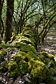 MOSS COVERING DRY STONE WALL WITH CONTORTED OAK TREES