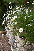 WILD WHITE DAISIES GROWING ABOVE STONE WALL