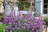 ERYSIMUM BOWLES MAUVE GROWING ON LOW WALL OVERLOOKING TERRACE