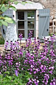 ERYSIMUM BOWLESS MAUVE GROWING ON LOW WALL OVERLOOKING TERRACE