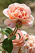 ROSA ABRAHAM DARBY (ROSE)