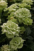 garden world images search rosa green rose. Black Bedroom Furniture Sets. Home Design Ideas