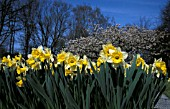 NARCISSUS AND BLOSSOM WITH BLUE SKY AND BARE TREES