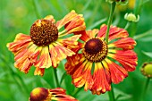 HELENIUM CHIPPERFIELD ORANGE