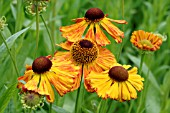 HELENIUM CULTIVAR OF DUTCH ORIGINS OFTEN SOLD AS KUPFERSPRUDEL AND PROBABLY INCORRECTLY NAMED