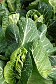 SPRING CABBAGE PIXIE F1 BRASSICA GREENS