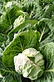 BRASSICA OLERACEA CAPITATA GROUP SPRING HERO, (SPRING CABBAGE SPRING HERO)