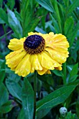 HELENIUM EL DORADO GROWING IN THE UK NATIONAL HELENIUM COLLECTION