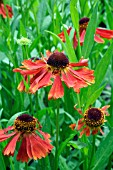 HELENIUM MOERHEIM BEAUTY AGM UK NATIONAL HELENIUM COLLECTION, SAMPFORD SHRUBS, DEVON