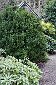 garden world images search ilex crenata. Black Bedroom Furniture Sets. Home Design Ideas