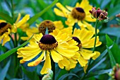 HELENIUM TWO FACED FAN