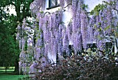 WISTERIA FLORIBUNDA MACROBOTRYS NAGA NODA ON THE SIDE OF A HOUSE.