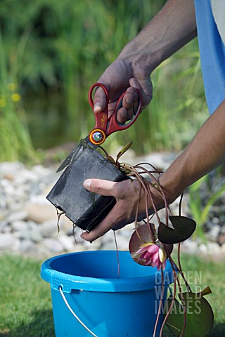 TIDYING_AND_PREPARING_NYMPHAEA_FOR_POND_PLANTING