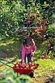 CHILD HARVESTING APPLES