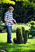 MAN TRIMMING BUXUS TOPIARY WITH SHEARS