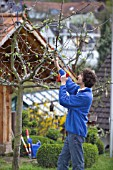 MAN PRUNING - CUTTING APPLE FRUIT TREE IN EARLY SPRINGTIME