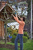 MAN PRUNING - CUTTING APPLE FRUIT TREE IN EARLY SPRINGTIME WITH SAW