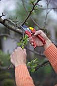 MAN PRUNING - CUTTING APPLE FRUIT TREE IN EARLY SPRINGTIME WITH SECATEURS