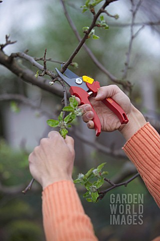 MAN_PRUNING__CUTTING_APPLE_FRUIT_TREE_IN_EARLY_SPRINGTIME_WITH_SECATEURS