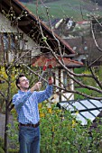 MAN PRUNING - CUTTING APPLE FRUIT TREE IN EARLY SPRINGTIME WITH LOPPERS