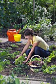 HARVESTING VEGETABLES FROM THE KITCHEN GARDEN