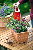WATERING VERBENA - CONTAINER PLANTING
