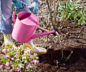 WATERING A NEWLY PLANTED ROSE
