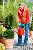 WATERING CLIPPED BUXUS IN CONTAINER