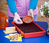 SOWING MARIGOLD SEEDS IN TRAY