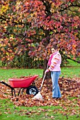 RAKING LEAVES IN FROM LAWN IN GARDEN