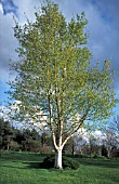 BETULA PENDULA OR SILVER BIRCH,  WHOLE TREE IN FIELD WITH A BLUE SKY.