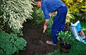 DIGGING HOLE FOR A RHODODENDRON, ADDING COMPOST TO NEW SHRUB.
