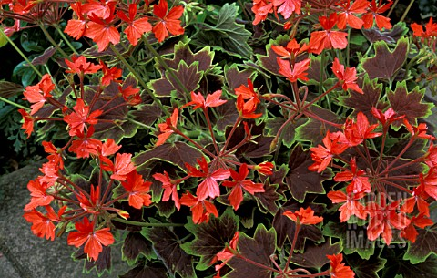 _PELARGONIUM__VANCOUVER_CENTENNIAL__GERANIUM__STELLAR___MASS_OF_FLOWERS_AND_FOLIAGE