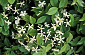TRACHELOSPERMUM JASMINOIDES,  FLOWERS AND FOLIAGE