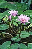 NYMPHAEA STELLATA,  LOTUS FLOWER,  SHAPLA NATIONAL SYMBOL OF SRI LANKA AND BANGLADESH.