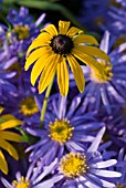 RUDBECKIA DEAMII WITH ASTER AMELLUS KING GEORGE