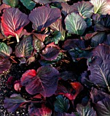 BERGENIA CORDIFOLIA PURPUREA, (WINTER FOLIAGE)
