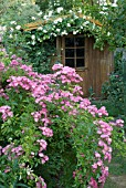 ROSA MARIA LISA (ROSE) AND ROSA GARDENIA (ROSE). SHED. GARDEN OF ANDRÉ EVE. PITHIVIERS. LOIRET