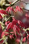 leaf acer palmatum