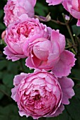 ROSA ALAN TITCHMARSH (ROSE BUSH ENGLISH AUSLIVE).  ROSES DAVID AUSTIN
