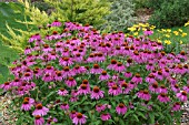ECHINACEA PURPUREA ELTON KNIGHT (MARGUERITE PURPLE). ASTERACEAE. PERENNIAL. SUMMER FLOWERING. GLOBE PLANTER