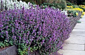 NEPETA MUSSINII EDGING IN RAISED BED,  MIXED HERBACEOUS BORDER.