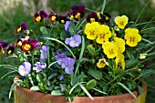 MIXED VIOLETS IN A LARGE POT