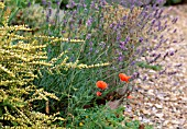 PAPAVER RHOEAS WITH LONICERA NITIDA BAGGESENSS GOLD AND LAVANDULA HIDCOTE