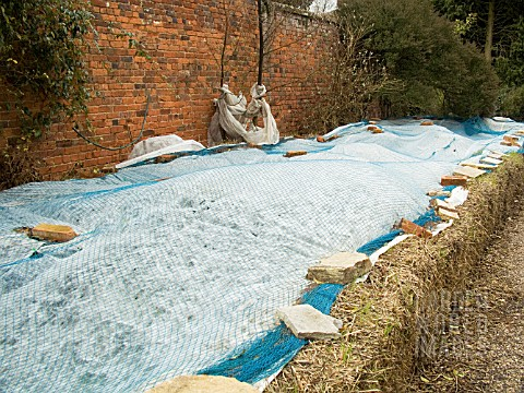 WINTER_PROTECTION_OF_AGAPANTHUS_BEDS_AT_SPETCHLEY_GARDENS_IN_WORCESTERSHIRE