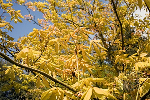 AESCULUS_NEGLECTA_ERTHROBLASTOS__SUNRISE_HORSE_CHESTNUT