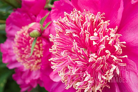 PEONIA_BARRINGTON_BELLE_LARGE_PINK_ANEMONE_FORM