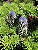 ABIES KOREANA,  KOREAN FIR.