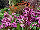 BERGENIA IN ASSOCIATION WITH EUPHORBIA,  FIREGLOW.