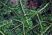 ABIES FIRMA (JAPANESE FIR)